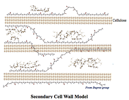 Secondary Cell Wall- for Research Theme